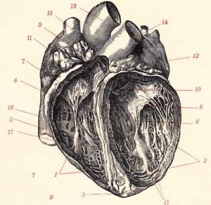 transpl-heart
